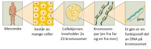 Menneske - celle - kromosom - gen