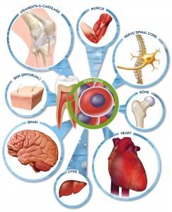Stamceller, her fra tenner, kan danne mange ulike typer celler. Fra stemsaveblog.com